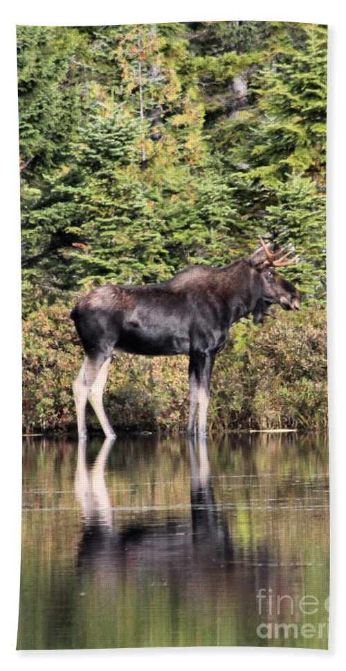 Maine Moose Bath Sheet featuring the photograph Moose_0609 by Joseph Marquis