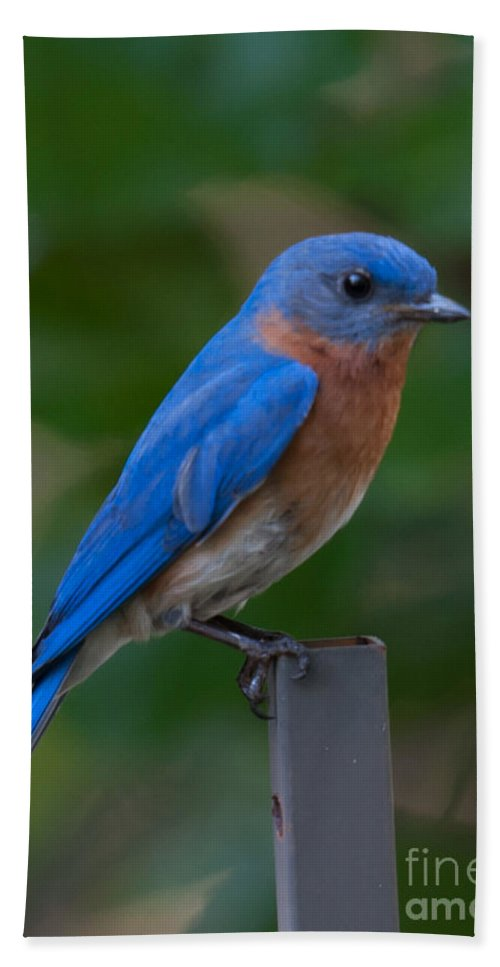 Eastern Blue Bird Bath Sheet featuring the photograph Morning Perch by Dale Powell