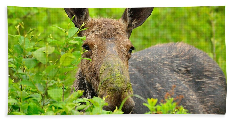Alces Alces Bath Sheet featuring the photograph Mossy Moose by Joshua McCullough