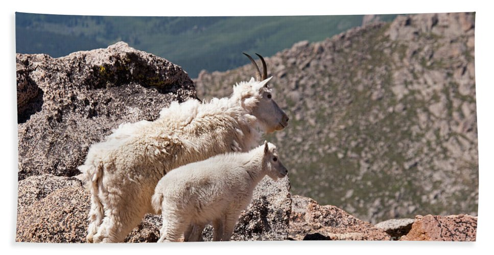 Arapaho National Forest Hand Towel featuring the photograph Mountain Goat Nanny And Kid Enloying The View On Mount Evans by Fred Stearns