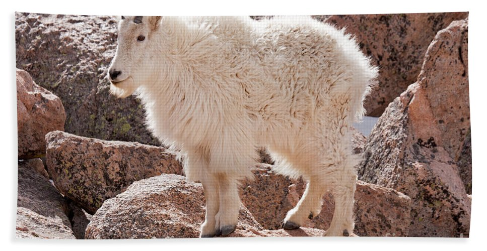 Arapaho National Forest Hand Towel featuring the photograph Mountain Goat On Mount Evans by Fred Stearns