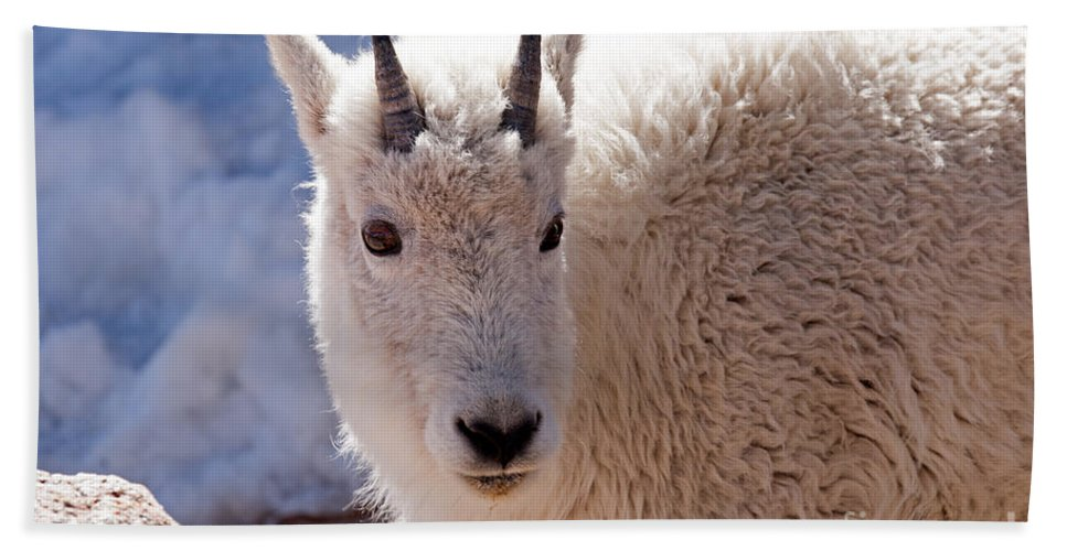 Arapaho National Forest Hand Towel featuring the photograph Mountain Goat Portrait On Mount Evans by Fred Stearns