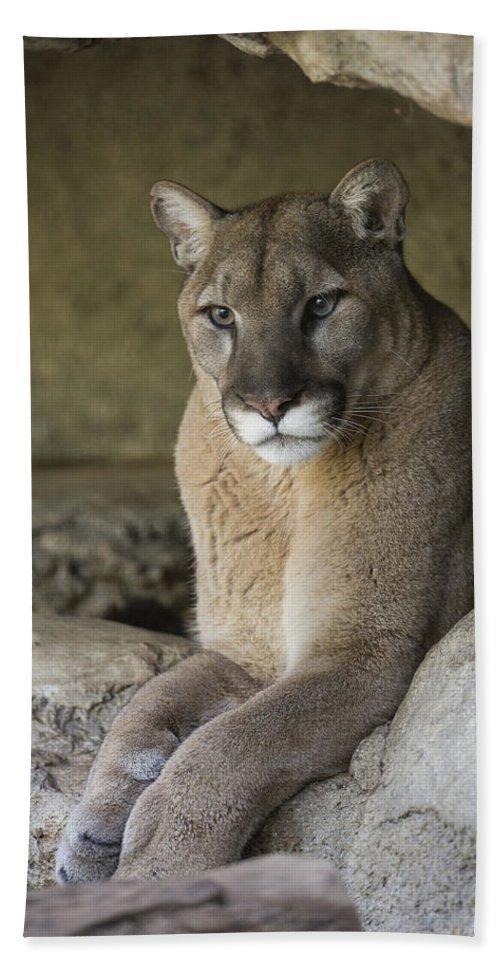 Mountain Lion Bath Towel For Sale By San Diego Zoo