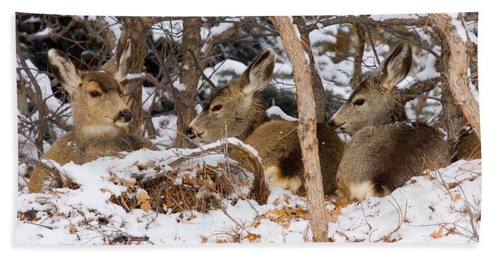 Mule Deer Hand Towel featuring the photograph Mule Deer In Snow by Steve Krull