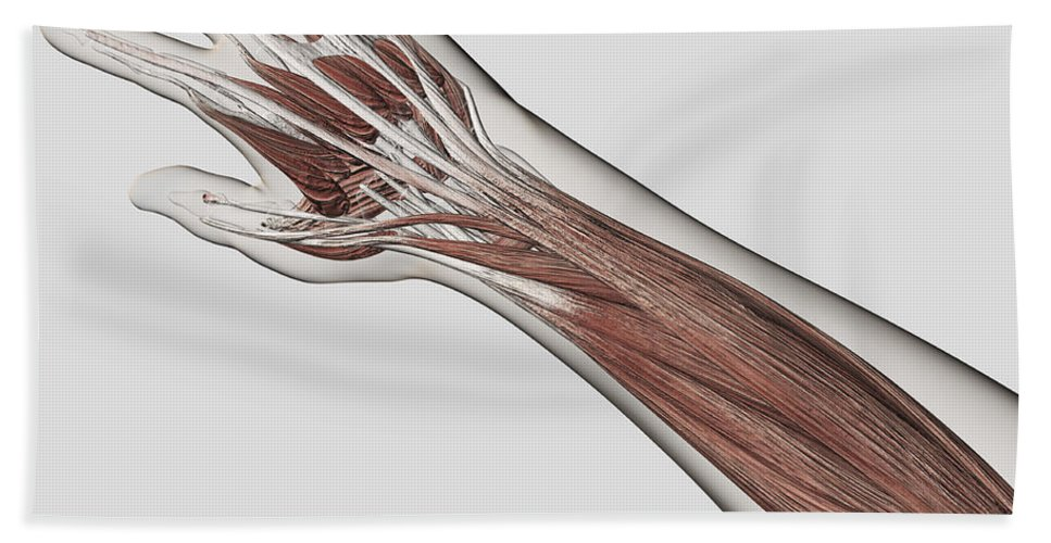 Square Image Bath Sheet featuring the digital art Muscle Anatomy Of Human Arm And Hand by Stocktrek Images