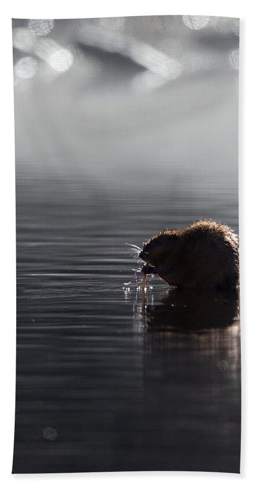 Muskrat Bath Sheet featuring the photograph Muskrat by Bill Wakeley