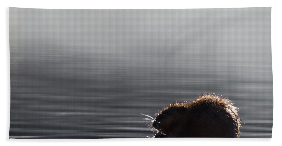 Muskrat Bath Sheet featuring the photograph Muskrat Square by Bill Wakeley