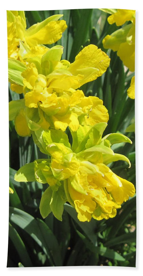 Daffodils Hand Towel featuring the photograph Naturalized Daffodils On The Farm by Conni Schaftenaar