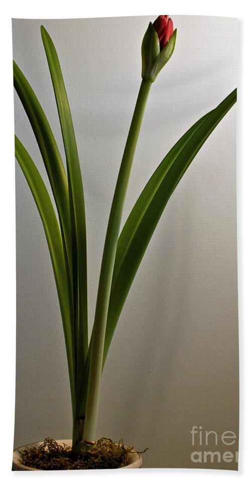 Amaryllis Bath Sheet featuring the photograph An Emerging Amaryllis by Toula Mavridou-Messer