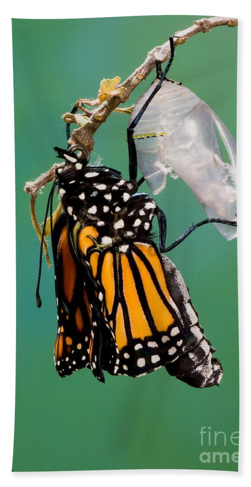 Animal Hand Towel featuring the photograph Newly-emerged Monarch Butterfly by Anthony Mercieca