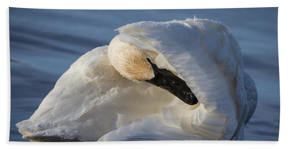 Swan Bath Sheet featuring the photograph Swan Tuck by Patti Deters