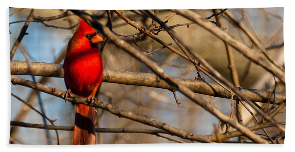 Winter Scene Bath Sheet featuring the photograph Northern Cardinal by Edward Peterson