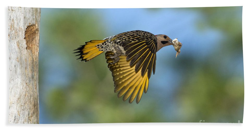 Northern Flicker Hand Towel featuring the photograph Northern Flicker by Anthony Mercieca