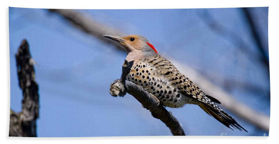Northern Flicker Hand Towel featuring the photograph Northern Flicker Pictures 5 by World Wildlife Photography