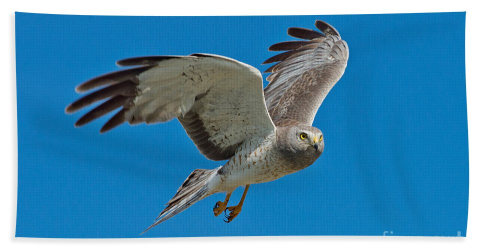 Northern Harrier Hand Towel featuring the photograph Northern Harrier Male In Flight by Anthony Mercieca
