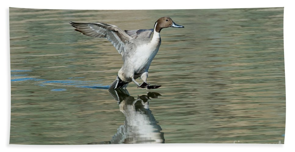 Nature Hand Towel featuring the photograph Northern Pintail Drake Tail Touching by Anthony Mercieca