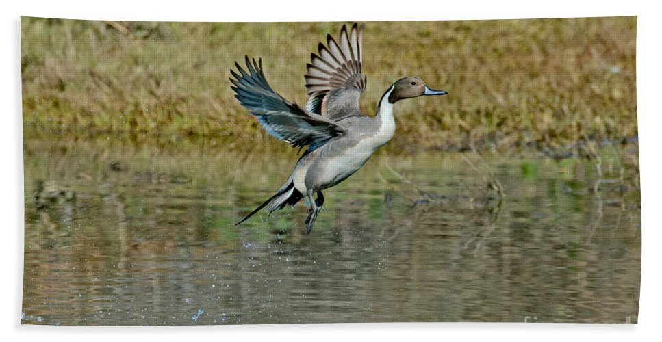 Nature Hand Towel featuring the photograph Northern Pintail Drake Taking by Anthony Mercieca