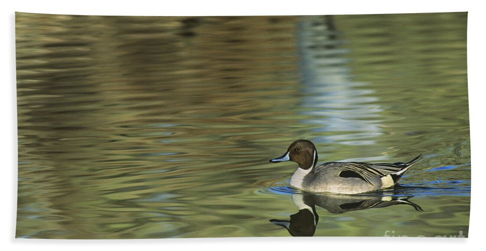 North America Bath Towel featuring the photograph Northern Pintail In A Quiet Pond California Wildlife by Dave Welling
