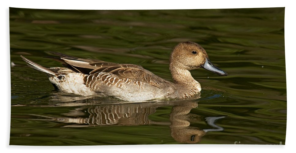 Pintail Hand Towel featuring the photograph Northern Pintail Molting by Anthony Mercieca