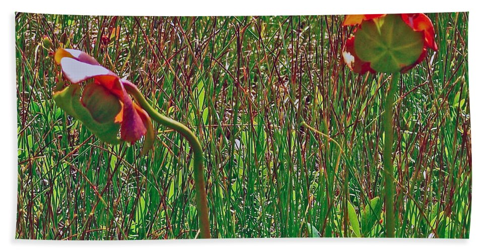 Northern Pitcher Plant In French Mountain Bog On Cape Breton Highlands Np Hand Towel featuring the photograph Northern Pitcher Plant In French Mountain Bog On Cape Breton Isl by Ruth Hager