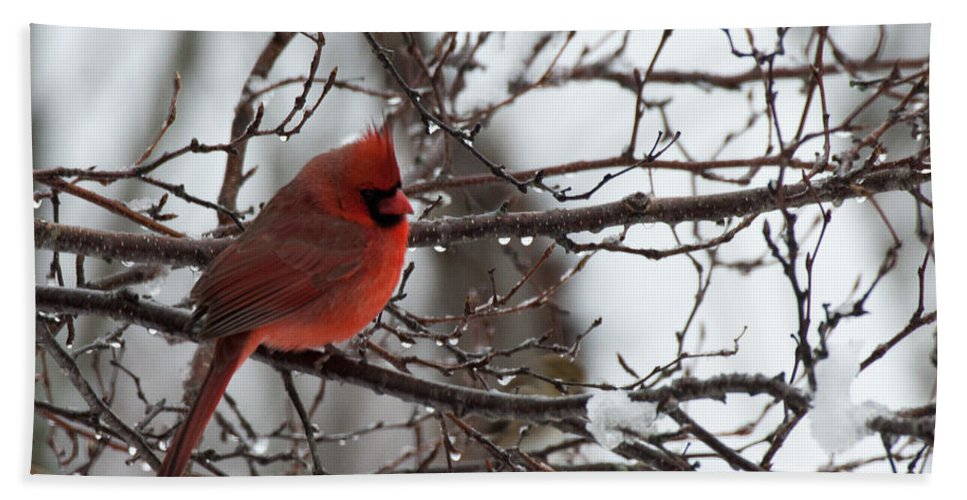 Salem Bath Sheet featuring the photograph Northern Red Cardinal In Winter by Jeff Folger