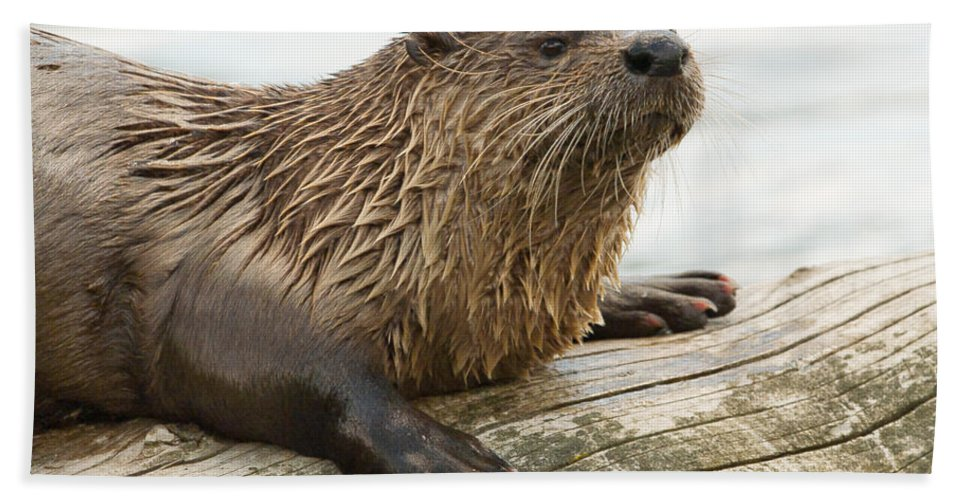 Animals Bath Sheet featuring the photograph Northern River Otter by Doug Herr