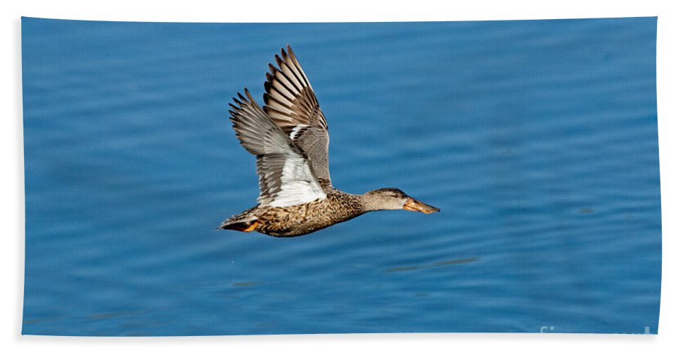 Northern Shoveler Hand Towel featuring the photograph Northern Shoveler In Flight by Anthony Mercieca