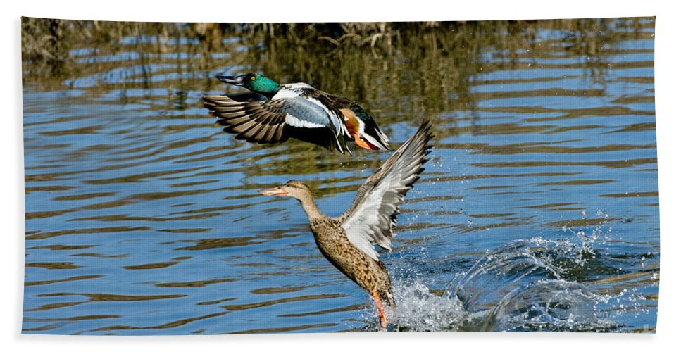 Male Northern Shoveler Hand Towel featuring the photograph Northern Shoveler Pair by Anthony Mercieca