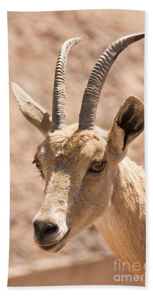Ibex Hand Towel featuring the photograph Nubian Ibex Capra Ibex Nubiana 1 by Eyal Bartov