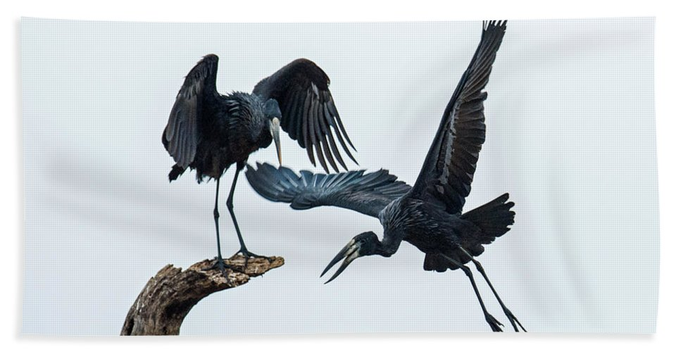 Photography Bath Sheet featuring the photograph Openbill Storks Flying, Tarangire by Panoramic Images