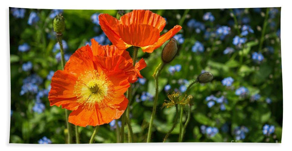 Orange Iceland Poppy Hand Towel featuring the photograph Orange And Blue - Beautiful Spring Orange Poppy Flowers In Bloom. by Jamie Pham