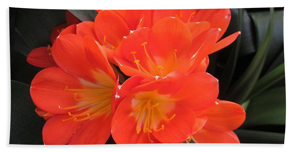 Clivia Miniata Grandiflora Hand Towel featuring the photograph Bright Orange Flowers by MTBobbins Photography