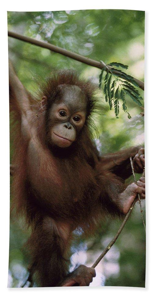 Feb0514 Bath Towel featuring the photograph Orangutan Infant Hanging Borneo by Konrad Wothe
