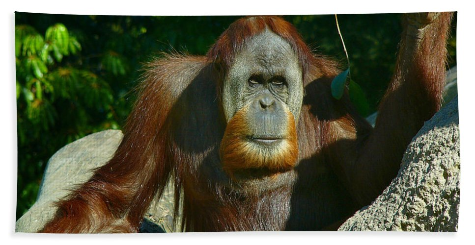 Animal Hand Towel featuring the photograph Orangutan Scratches With Stick by Amy Cicconi