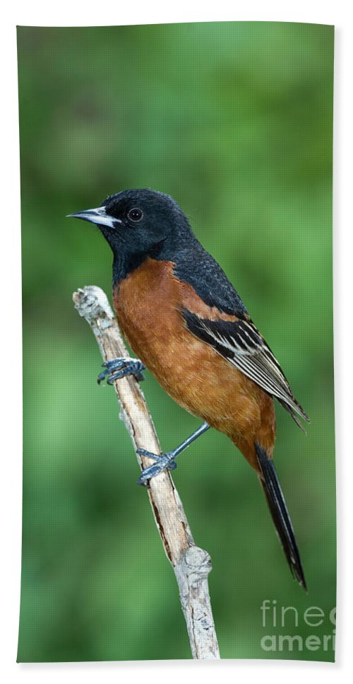 Animal Hand Towel featuring the photograph Orchard Oriole Icterus Spurius Adult by Anthony Mercieca