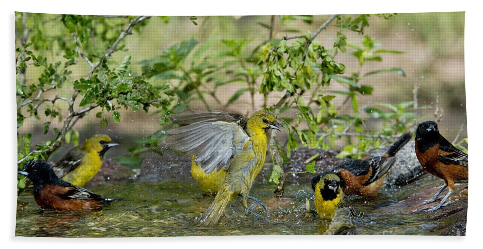Orchard Oriole Hand Towel featuring the photograph Orchard Orioles by Anthony Mercieca