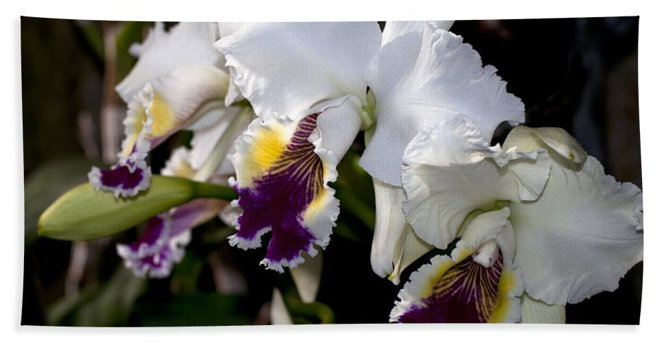 White Orchid Hand Towel featuring the photograph Orchid Laeliocattleya Lucie Hausermann With Buds 4074 by Terri Winkler