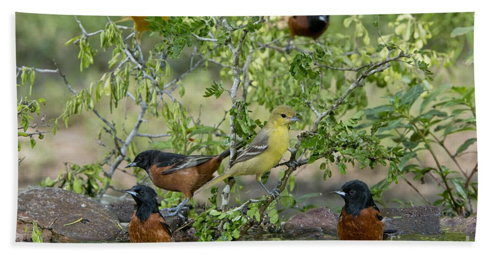 Orchard Oriole Hand Towel featuring the photograph Orioles At The Pool by Anthony Mercieca
