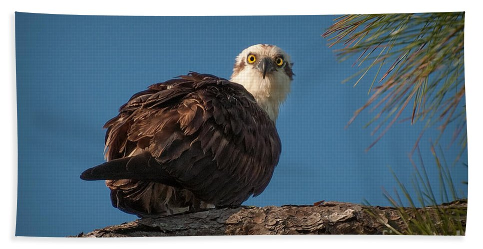 Osprey Hand Towel featuring the photograph Osprey In Pine 3 by Photos By Cassandra