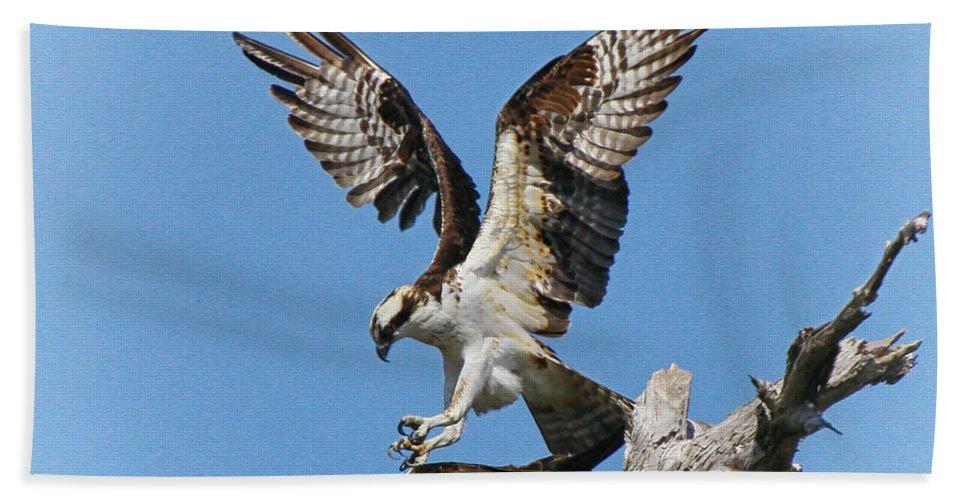 Opsrey Bath Sheet featuring the photograph Osprey Mating by Barbara Bowen