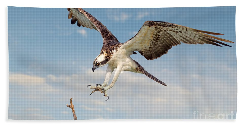 Osprey Hand Towel featuring the photograph Osprey With Talons Extended by Jerry Fornarotto