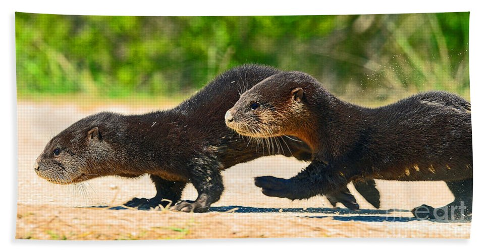 Two Babies Crossing The Road Bath Sheet featuring the photograph Otters Crossing The Road by Davids Digits