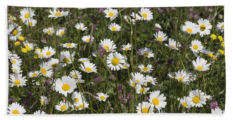 Ox-eye Daisy Leucanthemum Vulgare Cheshire Flower Flowers Daisies Spring Summer Middlewood Way Jacksons Brickworks Ox Eye Oxeye England Britain English Flora Wild Poynton Nature Reserve Reserves Bath Sheet featuring the photograph Ox-eye Daisies Jackson's Brickworks Middlewood Way Poynton Cheshire England. by Michael Walters