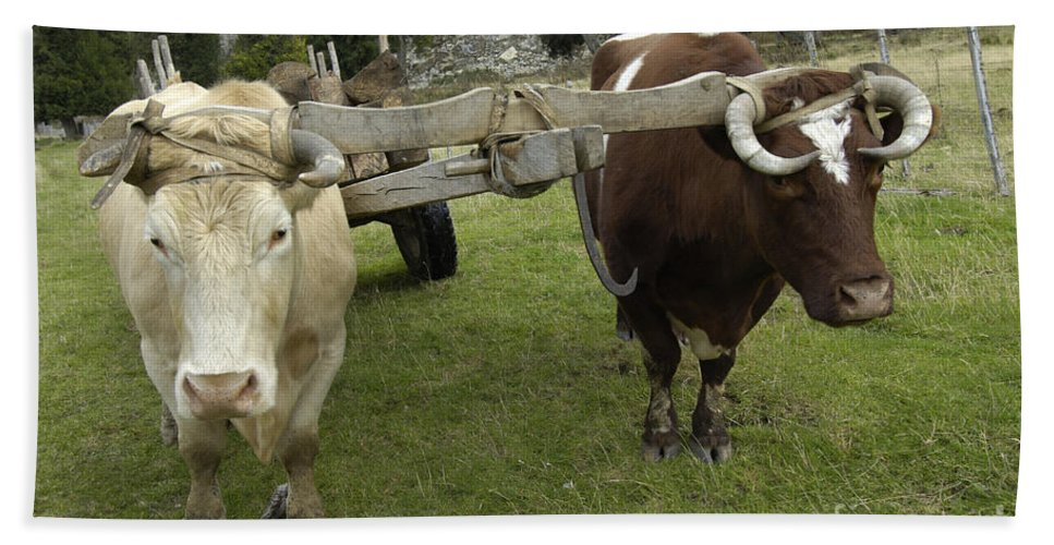 Oxen Team Hand Towel featuring the photograph Oxen by John Shaw