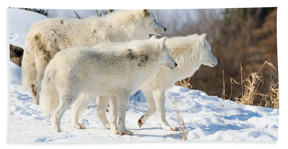 Pack Hand Towel featuring the photograph Pack Of Arctic Wolves by Les Palenik