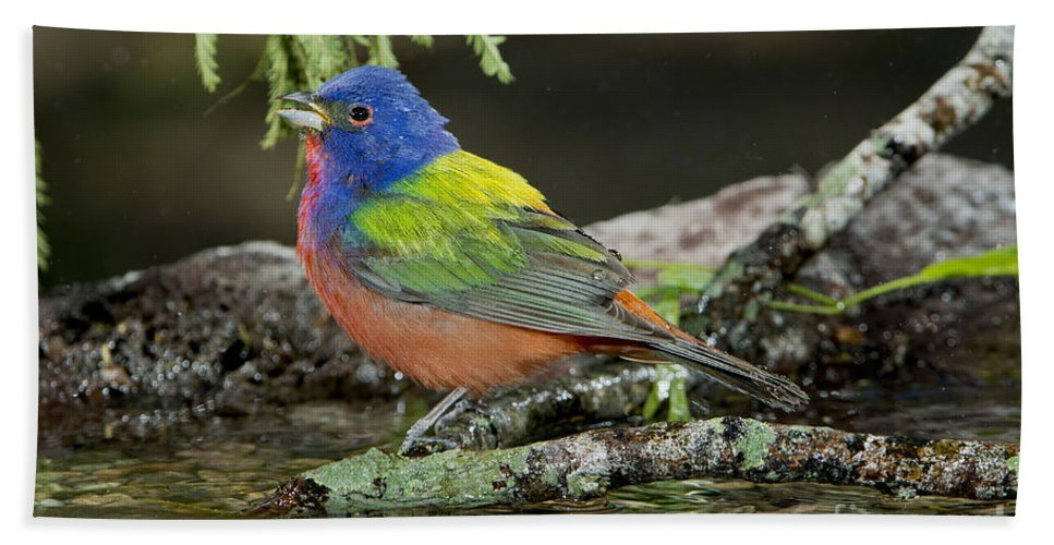 Painted Bunting Hand Towel featuring the photograph Painted Bunting Drinking by Anthony Mercieca