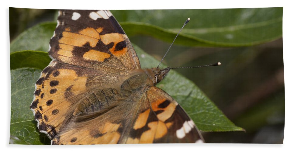 Painted Lady Butterfly Bath Sheet featuring the photograph Painted Lady Butterfly by Richard Thomas