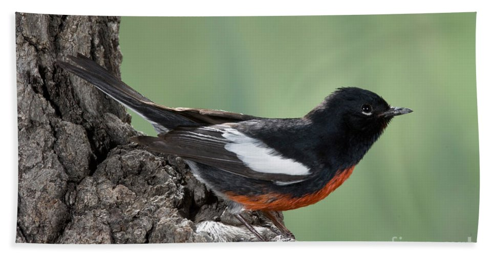 Fauna Hand Towel featuring the photograph Painted Redstart Myioborus Pictus by Anthony Mercieca