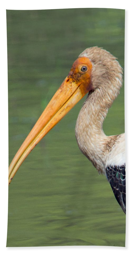 Photography Hand Towel featuring the photograph Painted Stork Mycteria Leucocephala by Panoramic Images