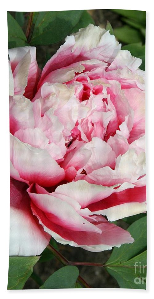 Peony Bath Sheet featuring the photograph Pale And Dark Pink Peony by Christiane Schulze Art And Photography